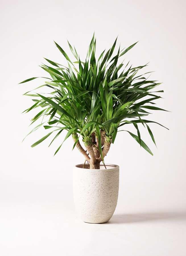 観葉植物 ドラセナ パラオ 8号 ビアスアルトエッグ 白 付き