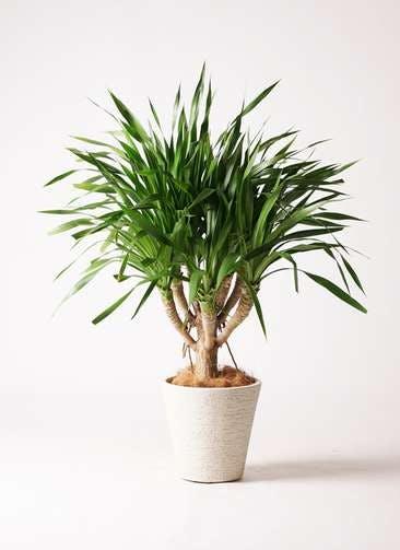 観葉植物 ドラセナ パラオ 8号 ビアスソリッド 白 付き