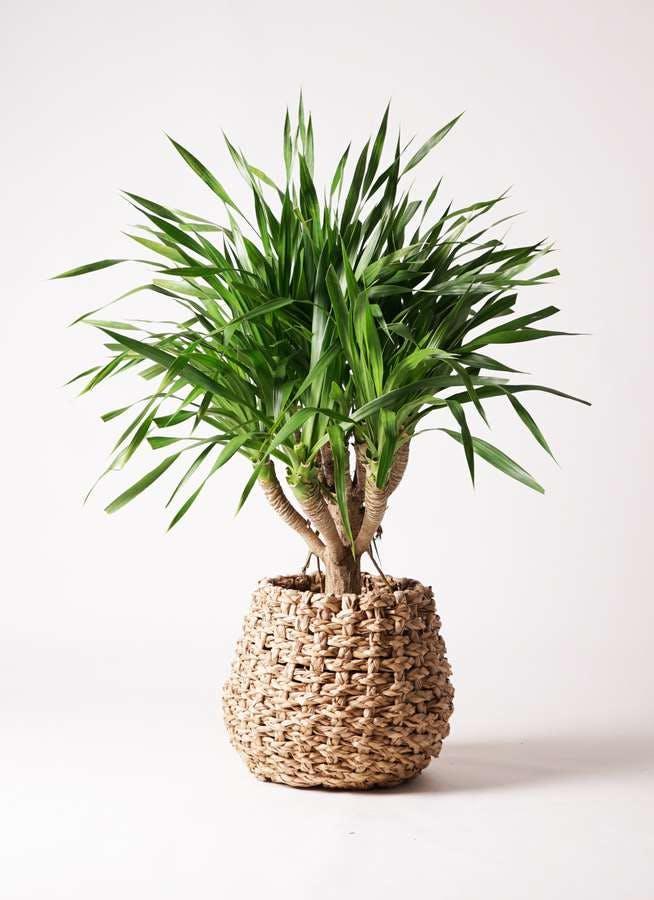 観葉植物 ドラセナ パラオ 8号 ラッシュバスケット Natural 付き