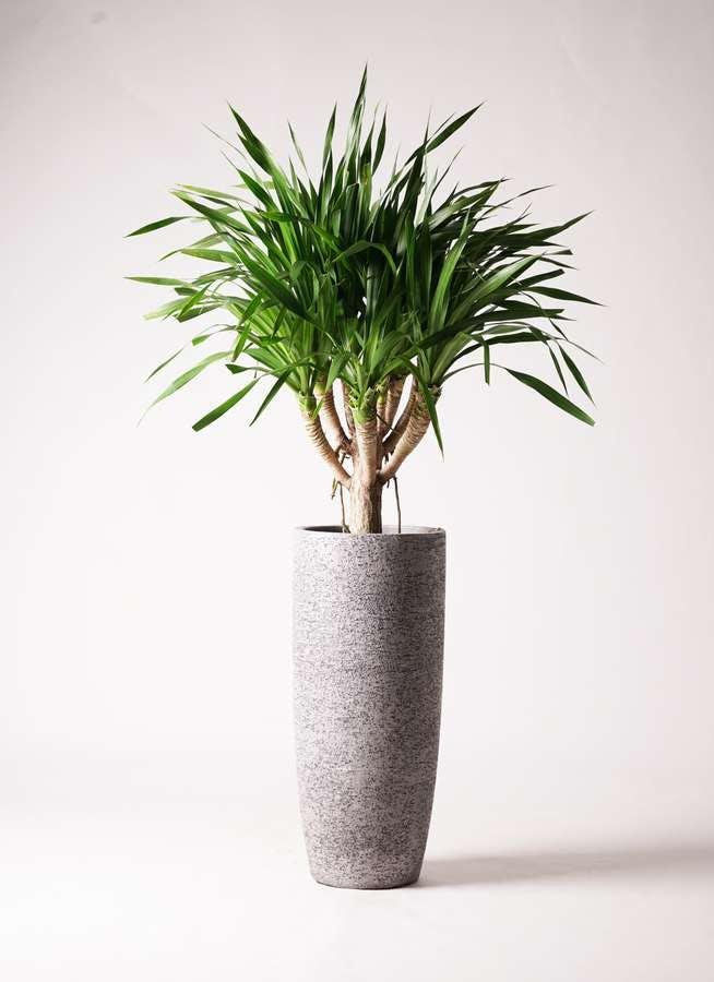 観葉植物 ドラセナ パラオ 8号 エコストーントールタイプ Gray 付き