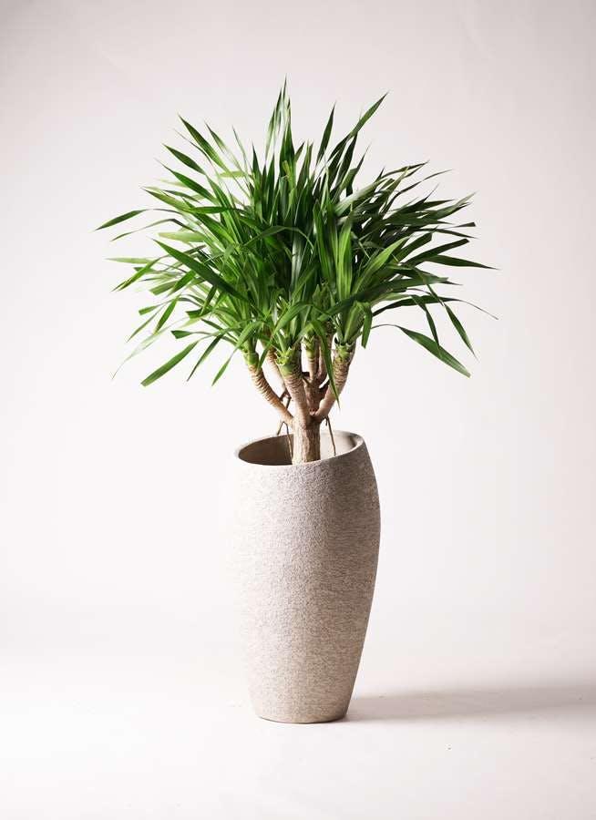 観葉植物 ドラセナ パラオ 8号 エコストーントールタイプ Light Gray 付き