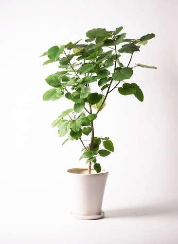 観葉植物 フィカス ウンベラータ 10号 ノーマル サブリナ 白 付き