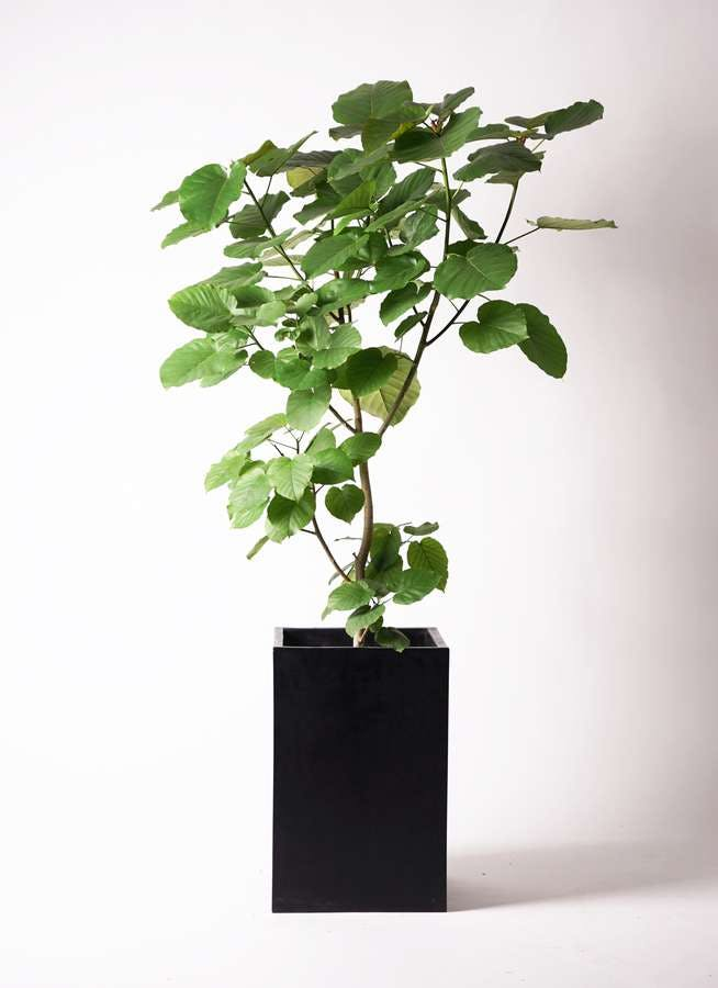 観葉植物 フィカス ウンベラータ 10号 ノーマル セドナロング 墨 付き