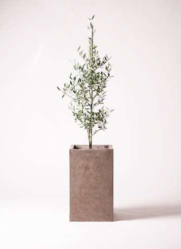 観葉植物 オリーブの木 8号 コロネイキ セドナロング グレイ 付き