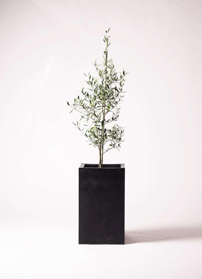 観葉植物 オリーブの木 8号 コロネイキ セドナロング 墨 付き