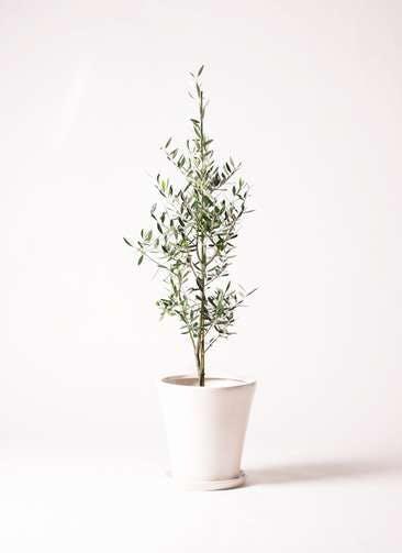 観葉植物 オリーブの木 8号 コロネイキ サブリナ 白 付き