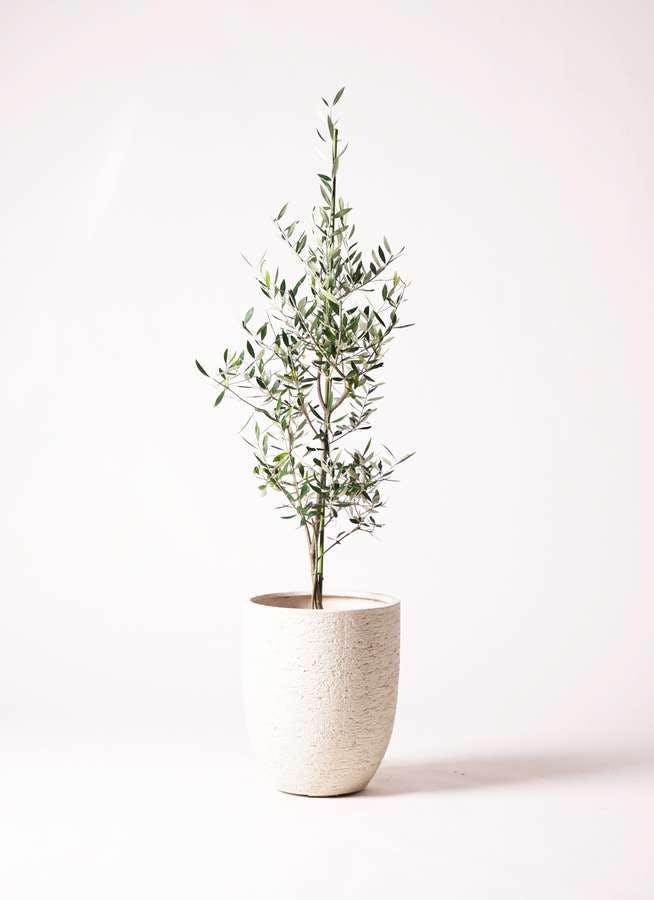 観葉植物 オリーブの木 8号 コロネイキ ビアスアルトエッグ 白 付き