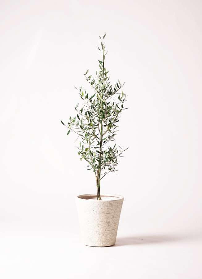 観葉植物 オリーブの木 8号 コロネイキ ビアスソリッド 白 付き