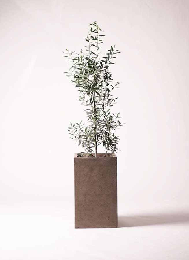 観葉植物 オリーブの木 8号 チプレッシーノ セドナロング グレイ 付き