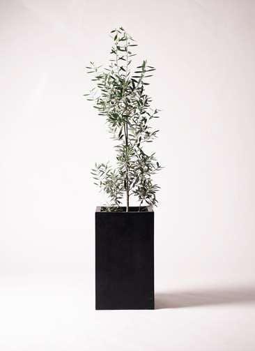 観葉植物 オリーブの木 8号 チプレッシーノ セドナロング 墨 付き