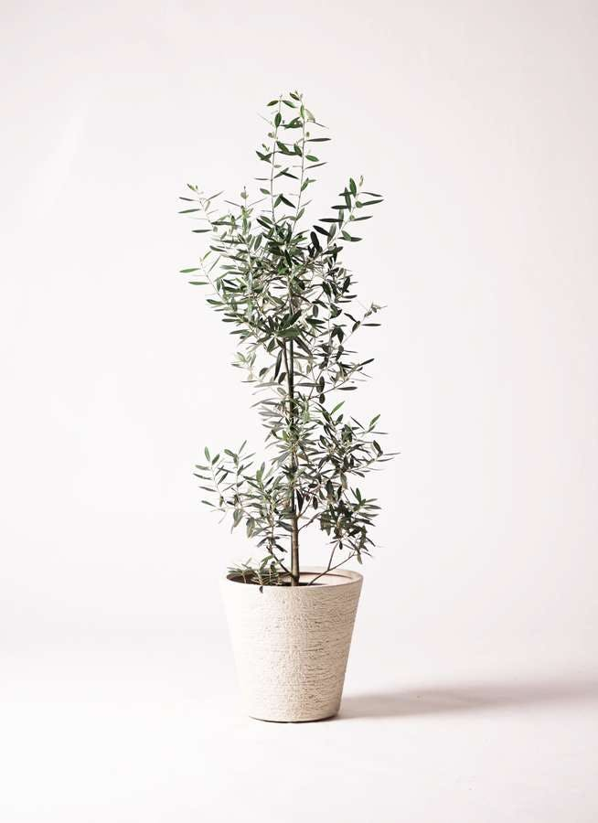 観葉植物 オリーブの木 8号 チプレッシーノ ビアスソリッド 白 付き