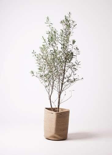 観葉植物 オリーブの木 10号 チプレッシーノ リブバスケットNatural 付き