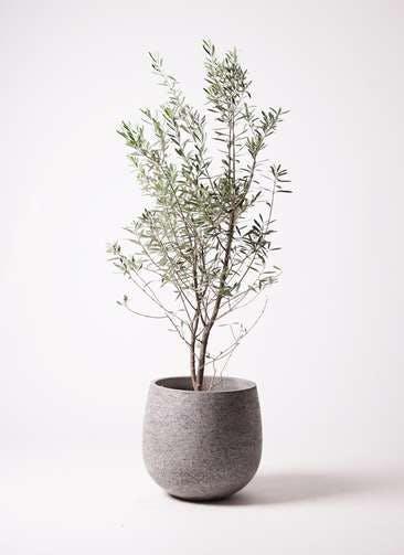 観葉植物 オリーブの木 10号 チプレッシーノ エコストーンGray 付き