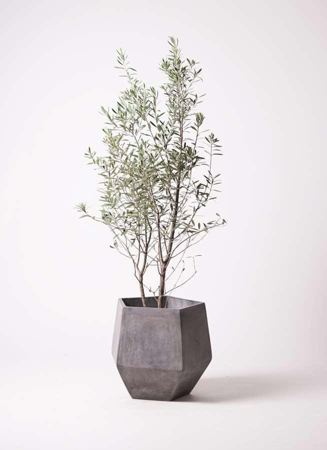 観葉植物 オリーブの木 10号 チプレッシーノ ファイバークレイGray 付き