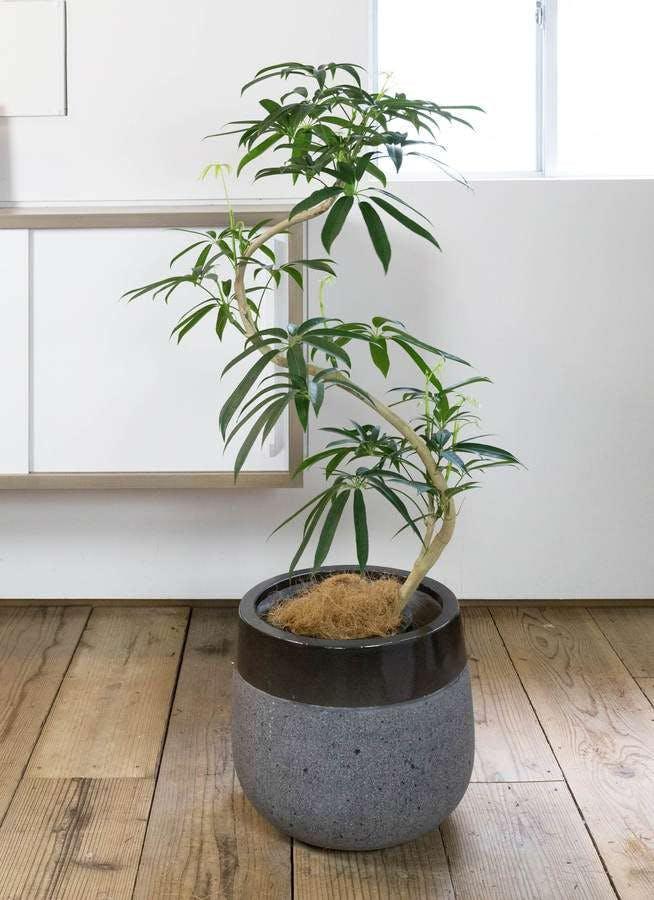 観葉植物 シェフレラ アンガスティフォリア 8号 曲り ファイバーストーン タウルス ミドル 黒 付き