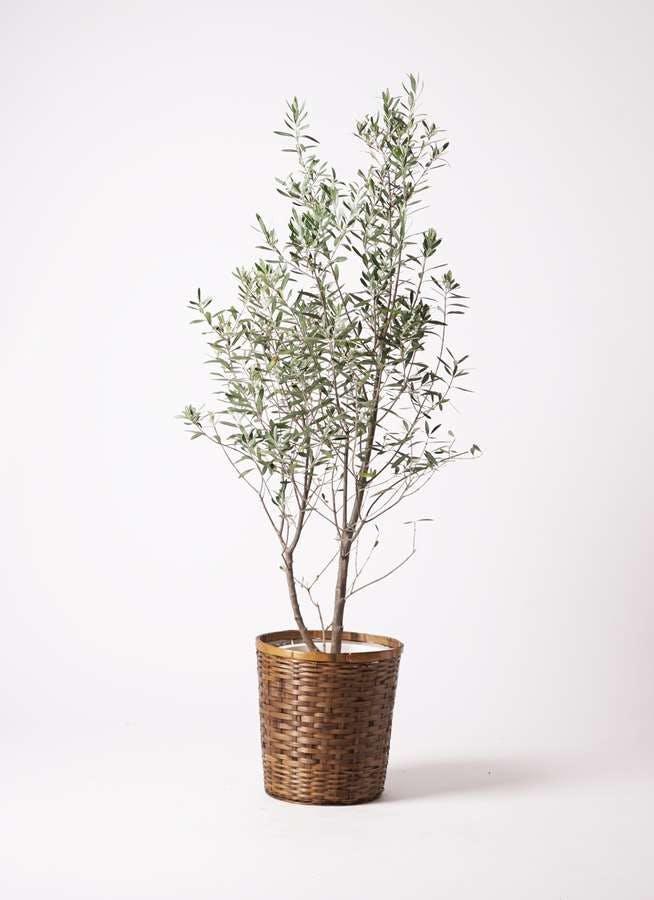 観葉植物 オリーブの木 10号 チプレッシーノ 竹バスケット 付き