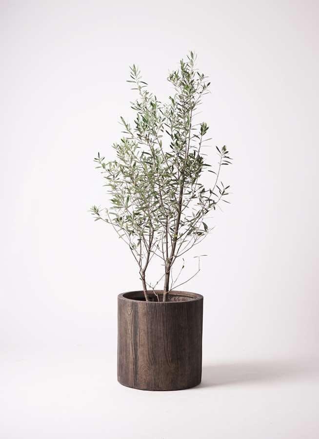 観葉植物 オリーブの木 10号 チプレッシーノ アルファシリンダープランター 付き