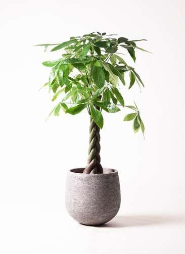 観葉植物 パキラ 8号 ねじり エコストーンGray 付き
