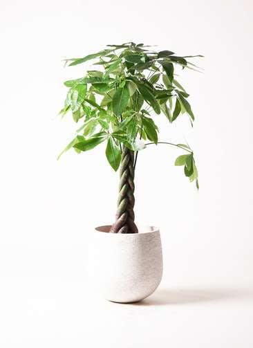 観葉植物 パキラ 8号 ねじり エコストーンwhite 付き