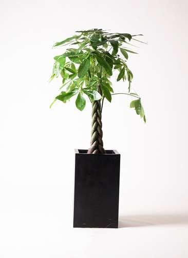 観葉植物 パキラ 8号 ねじり セドナロング 墨 付き