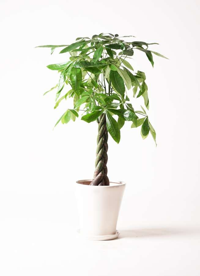 観葉植物 パキラ 8号 ねじり サブリナ 白 付き