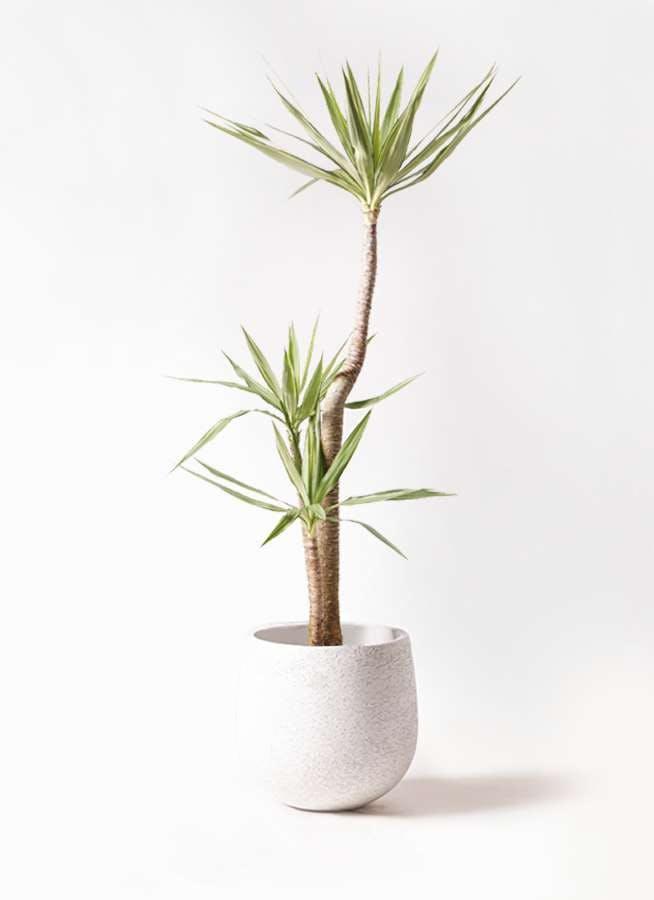 観葉植物 ユッカ 10号 斑入り エコストーンwhite 付き