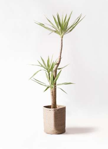 観葉植物 ユッカ 10号 斑入り リブバスケットNatural 付き