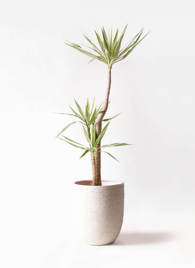 観葉植物 ユッカ 10号 斑入り ビアスアルトエッグ 白 付き