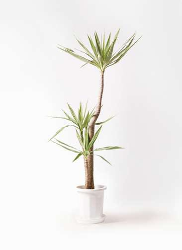 観葉植物 ユッカ 10号 斑入り プラスチック鉢