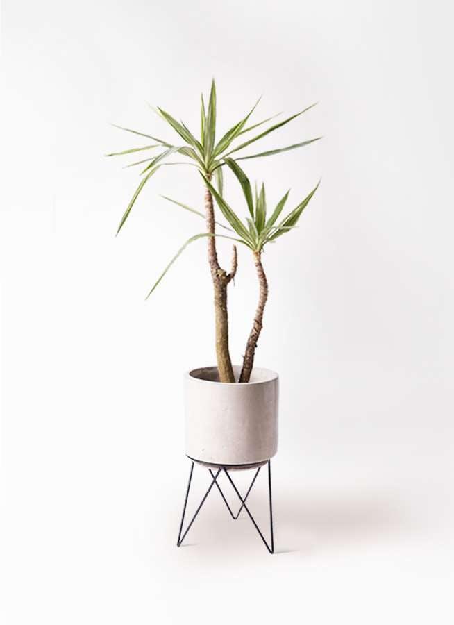 観葉植物 ユッカ 8号 斑入り ビトロ エンデカ クリーム アイアンポットスタンド ブラック 付き