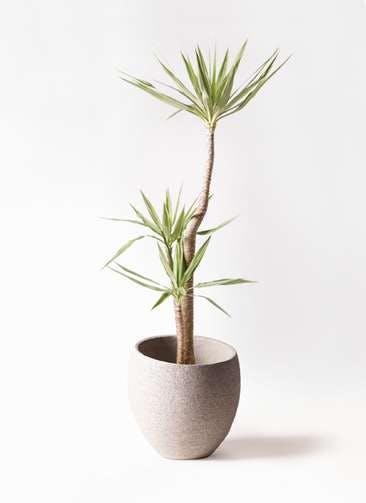観葉植物 ユッカ 10号 斑入り エコストーンLight Gray 付き