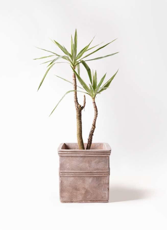 観葉植物 ユッカ 8号 斑入り テラアストラ カペラキュビ 赤茶色 付き
