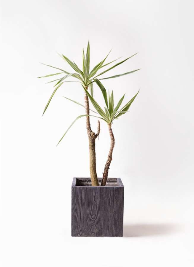観葉植物 ユッカ 8号 斑入り ベータ キューブプランター ウッド 茶 付き