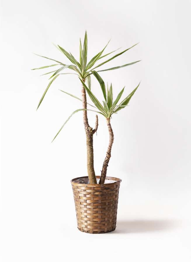 観葉植物 ユッカ 8号 斑入り 竹バスケット 付き
