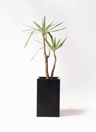 観葉植物 ユッカ 8号 斑入り セドナロング 墨 付き