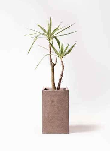 観葉植物 ユッカ 8号 斑入り セドナロング グレイ 付き