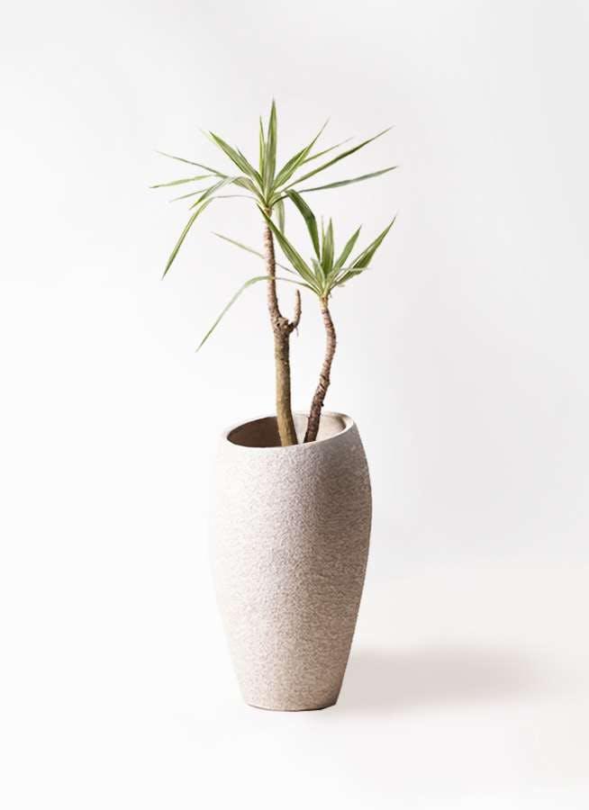 観葉植物 ユッカ 8号 斑入り エコストーントールタイプ Light Gray 付き