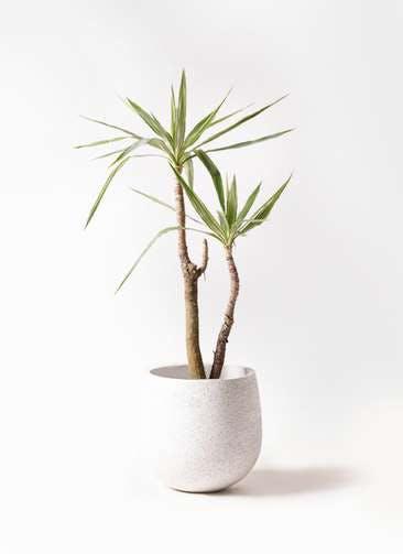 観葉植物 ユッカ 8号 斑入り エコストーンwhite 付き