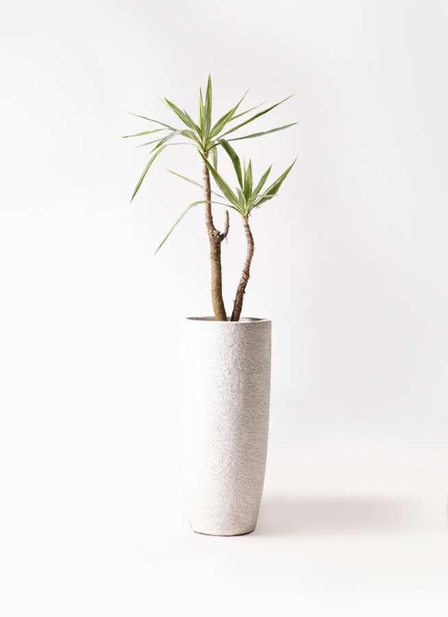 観葉植物 ユッカ 8号 斑入り エコストーントールタイプ white 付き