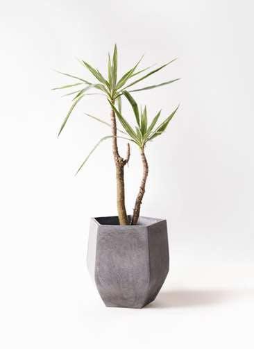 観葉植物 ユッカ 8号 斑入り ファイバークレイ Gray 付き