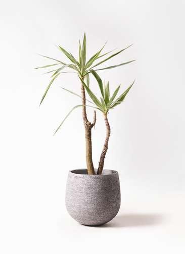 観葉植物 ユッカ 8号 斑入り エコストーンGray 付き