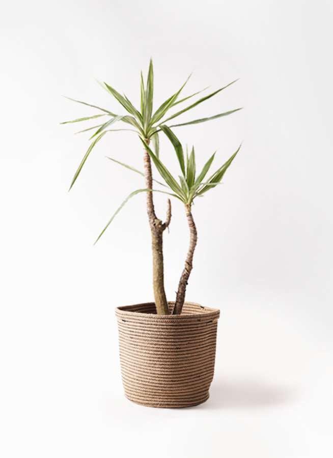 観葉植物 ユッカ 8号 斑入り リブバスケットNatural 付き