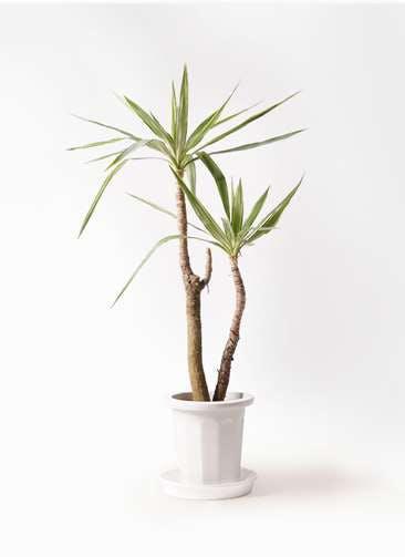 観葉植物 ユッカ 8号 斑入り プラスチック鉢