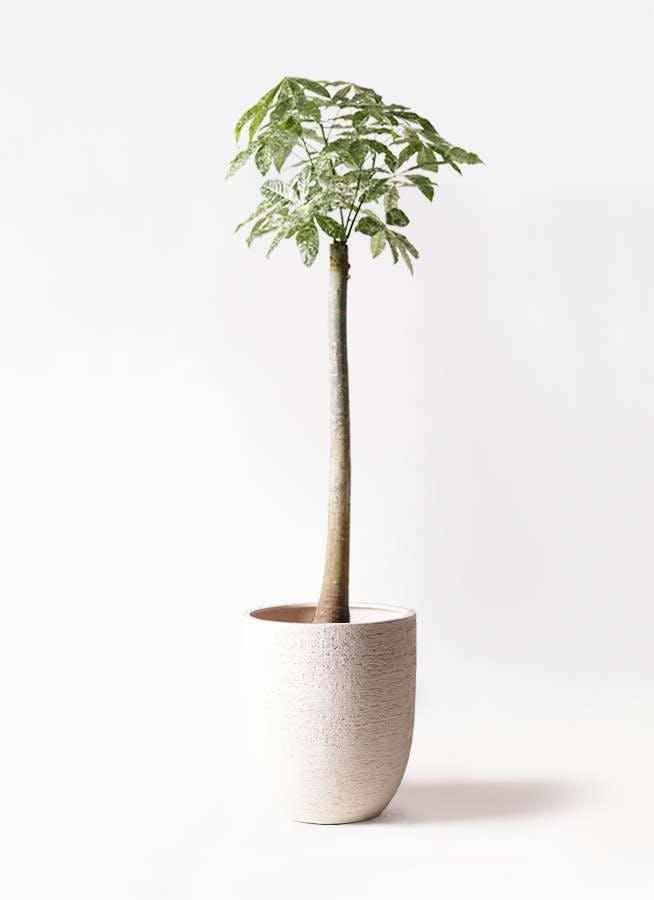 観葉植物 パキラ 10号 朴 斑入り ビアスアルトエッグ 白 付き