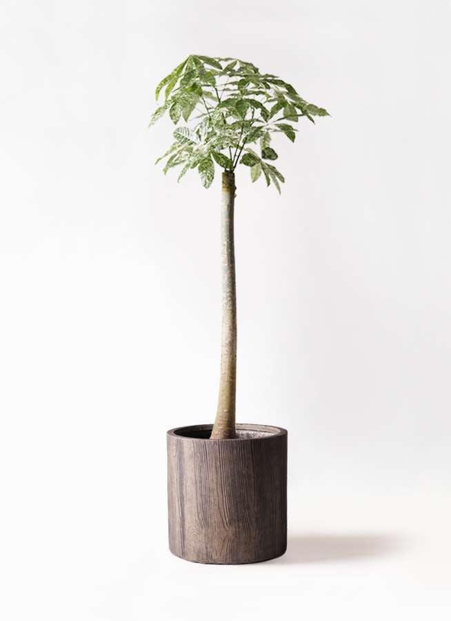 観葉植物 パキラ 10号 朴 斑入り アルファシリンダープランター 付き