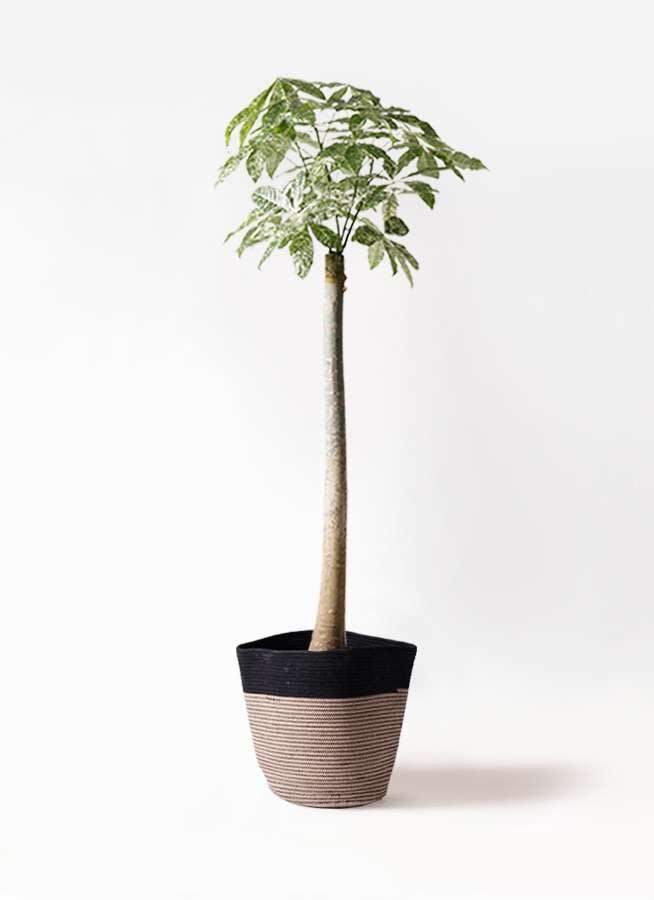 観葉植物 パキラ 10号 朴 斑入り リブバスケットNatural and Black 付き