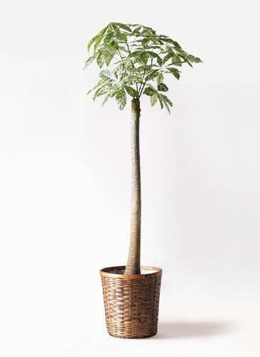 観葉植物 パキラ 10号 朴 斑入り 竹バスケット 付き