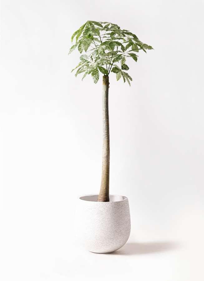観葉植物 パキラ 10号 朴 斑入り エコストーンwhite 付き