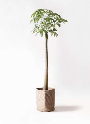観葉植物 パキラ 10号 朴 斑入り リブバスケットNatural 付き
