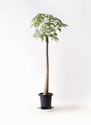 観葉植物 パキラ 10号 朴 斑入り プラスチック鉢